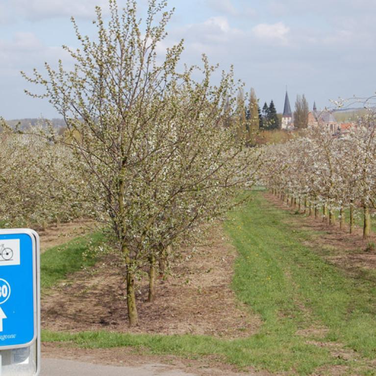 Haspengouw - Fietsen door de Fruitstreek